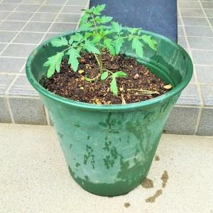 トマト鉢植え完成1
