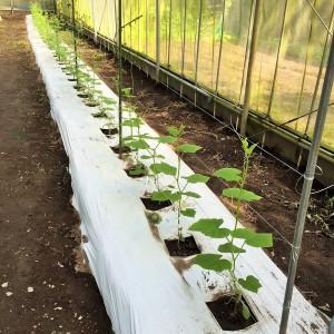 h様きゅうり栽培1