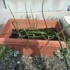 竹パウダー、タマネギ1